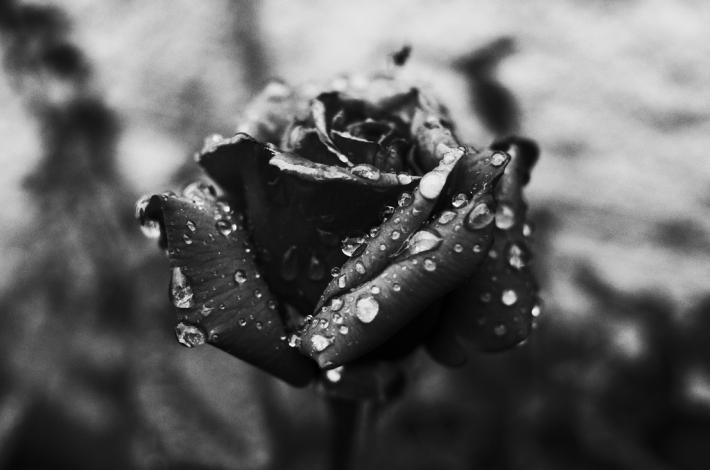 rose_pragmart_2015_1024